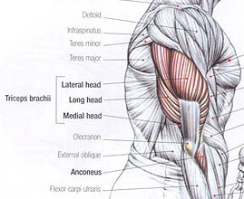 triceps-anatomy